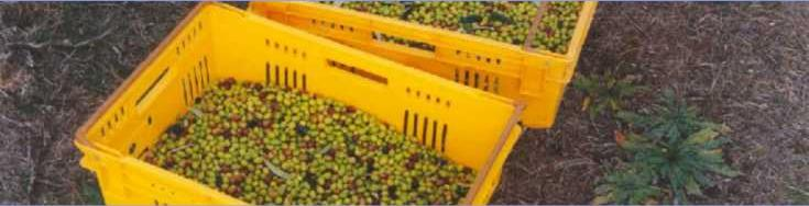 Bins of harvested frantoio olives