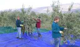 Hand picking olives